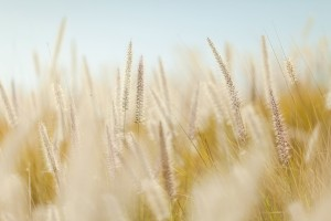 le gluten dans un champ