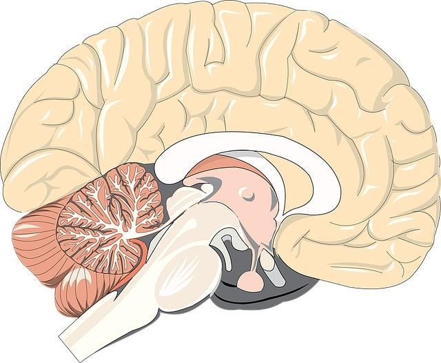 du gluten dans nos cerveaux